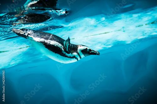 Foto op Plexiglas Pinguin Humboldt Penguin (Spheniscus humboldti)