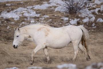 white wild hors
