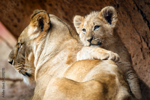 Foto op Plexiglas Leeuw African lion cub resting on his mother lioness