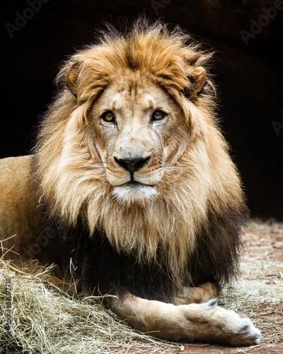 Staande foto Leeuw Portrait of male African lion