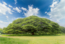 The Largest Monkey Pod Tree On...