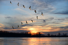Canadian Geese Flying In V For...