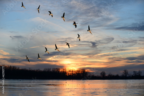 Photo  Canadian Geese Flying in V Formation