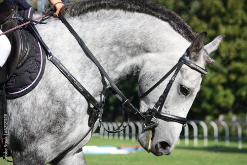 Foto op Plexiglas Paardrijden White horse portrait under saddle