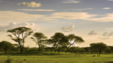 Fototapeta Sawanna - African savannah at sunset