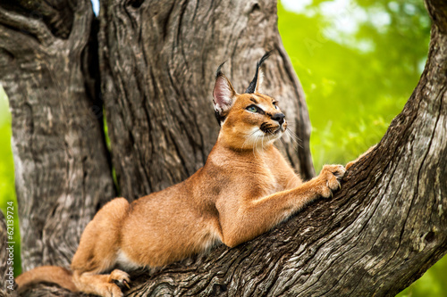 Staande foto Lynx Caracal in tree.