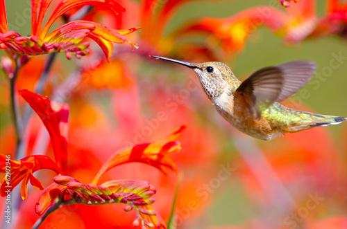 Photo  Rufous Hummingbird feeding on Crocosmia Flowers