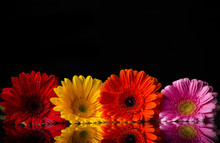 Colored Gerber Flowers