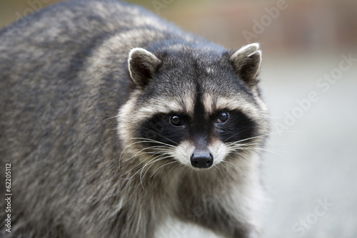 Fotomural  Potrait of a common raccoon