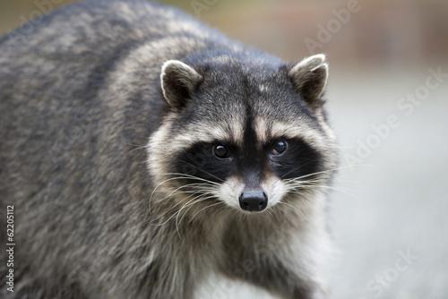 Carta da parati  Potrait of a common raccoon