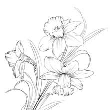 Daffodil Flower Or Narcissus I...