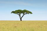 Fototapeta Sawanna - acacia dans la savane