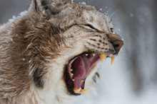 European Lynx In The Snow With...