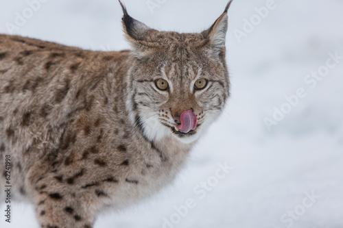 Papiers peints Lynx European Lynx in the snow licking lips