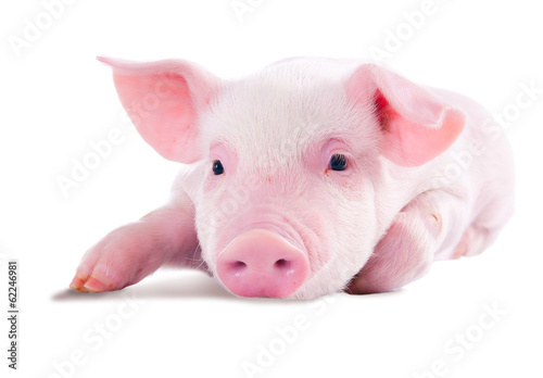 Pink pig in lying on his stomach. Isolated on white background