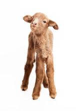 Baby Lamb Isolated On White Ba...