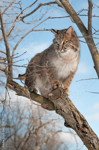 Foto auf Leinwand Luchs Bobcat (Lynx rufus) Stands on Branch Looking Left
