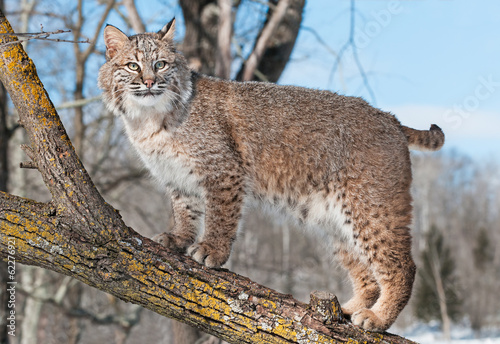 Spoed Foto op Canvas Lynx Bobcat (Lynx rufus) Stands on Branch