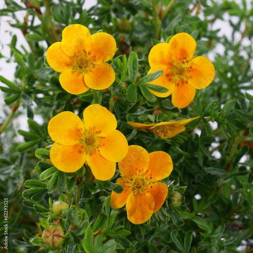 Fotografija  Potentilla fruticosa Hopley's Orange in a pot - cinquefoils