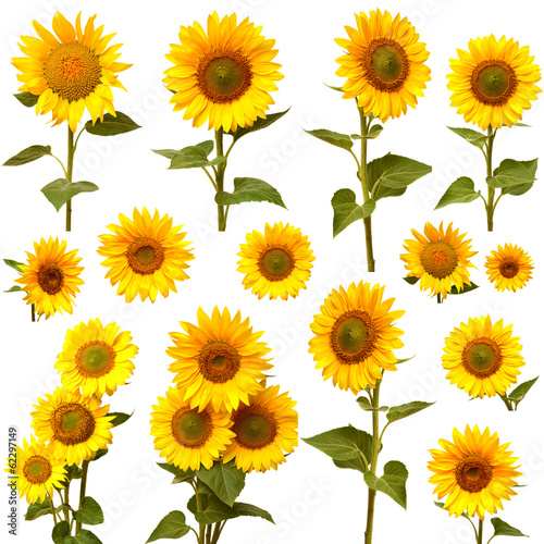 In de dag Zonnebloem Sunflowers collection on the white background