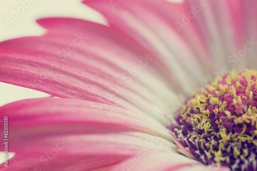 Papiers peints Macro photographie Macro of a pink summer daisy