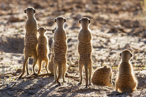 Fototapety, obrazy: Suricate family standing in the early morning sun looking for po