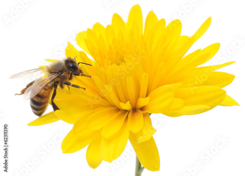 Spoed Foto op Canvas Bee Honeybee and yellow flower