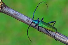 Aromia Moschata Longhorn Beetle