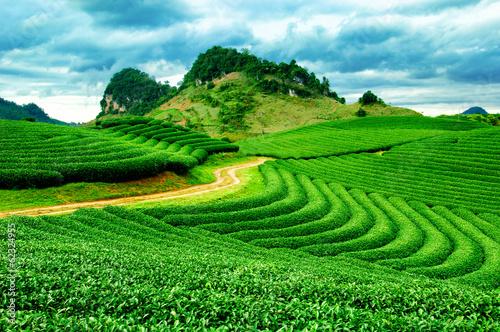 Photo  Beautiful fresh green tea plantation in vietnam