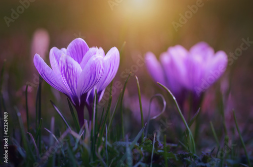 Foto op Canvas Krokussen Crocus flower bloom in sunset