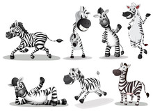 Playful Zebras