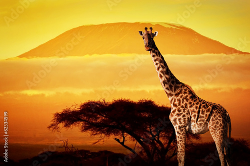 Foto op Plexiglas Leeuw Giraffe on savanna. Mount Kilimanjaro at sunset. Safari