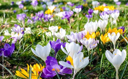 Deurstickers Krokussen Frühlingserwachen: Krokusse :)