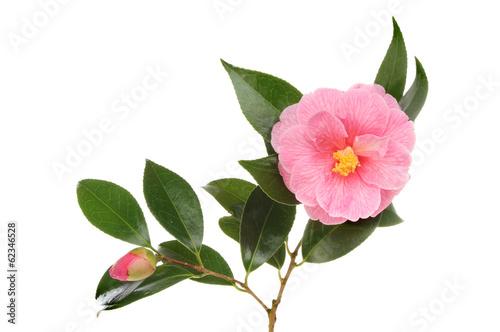 Fotografia Camellia