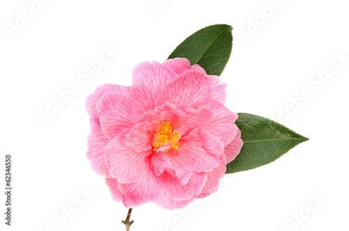 Fotografie, Tablou Pink camellia