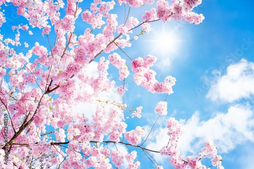 Stickers pour portes Fleur de cerisier Kirschbaumblüte
