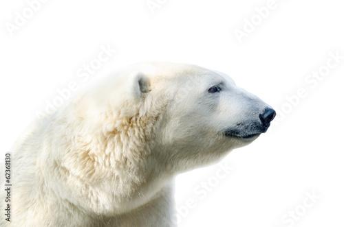 Recess Fitting Polar bear Arctic polar bear, Ursus maritimus