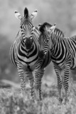 Fototapeta Zebra - Zebra mare and foal standing close together in bush for safety a