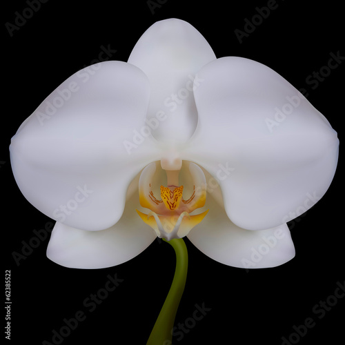 White flower of Orchid. Vector illustration. Isolated black