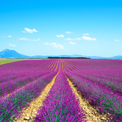 Panel Szklany Lawenda Lavender flower blooming fields endless rows. Valensole provence