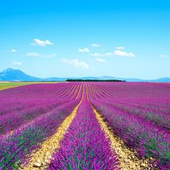 Fototapeta Lawenda Lavender flower blooming fields endless rows. Valensole provence