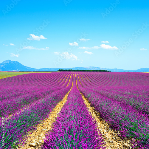 Fotobehang Lavendel Lavender flower blooming fields endless rows. Valensole provence