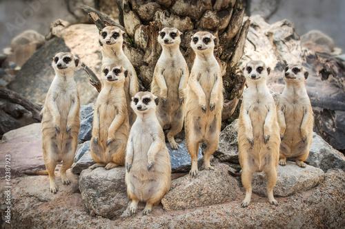 Fotografía Retrato de Meerkat