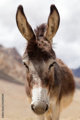 Foto op Canvas Ezel Portrait of Donkey