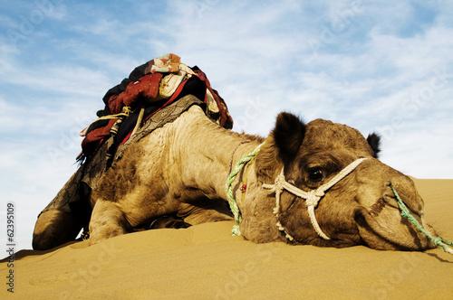 Fotobehang Zandwoestijn Cutest Camel Resting in the Desert