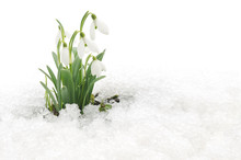 Snowdrops And Snow