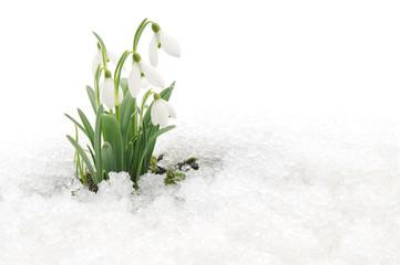 Fototapeta Snowdrops and Snow