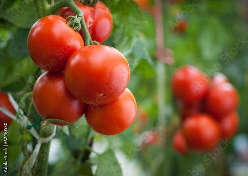 Cuadros en Lienzo tomato