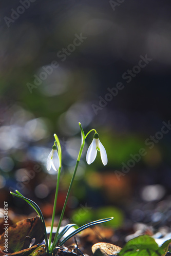 Fototapeta Wild snowdrop flowers in the forest in spring obraz na płótnie