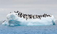 Adult Adele Penguins Grouped On Iceberg